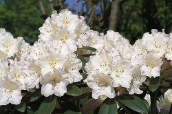 Rhododendron 'Silberglanz' - Rhododendron yakushimanum 'Silberglanz'
