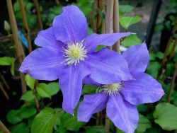 Clematis 'Europa' - Clematis 'Europa'