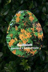 Geißblatt tellmaniana / Gold-Geißschlinge, Lonicera tellmanniana