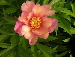 Halbstrauchige Pfingstrose 'Julia Rose' - Paeonia Itoh-Hybride 'Julia Rose'