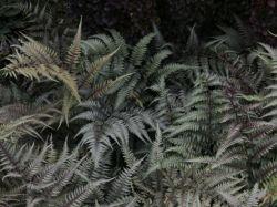 Brokatfarn 'Pictum' - Athyrium niponicum 'Pictum'