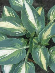 Funkie 'Timeless Beauty' - Hosta x cultorum 'Timeless Beauty'