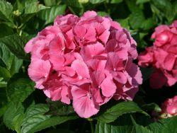 Ballhortensie / Bauernhortensie 'Masja' (rot) - Hydrangea macrophylla 'Masja' (rot)