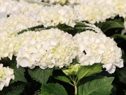 Ballhortensie Everbloom �  'White Wonder' � - Hydrangea macrophylla Everbloom � 'White Wonder' �