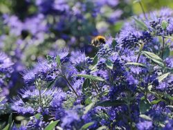 Bartblume 'Heavenly Blue' - Caryopteris clandonensis 'Heavenly Blue'
