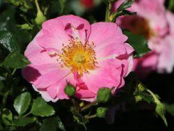 Beetrose 'Bienenweide' � rosa - Rosa 'Bienenweide' � rosa