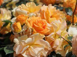 Beetrose 'Goldelse' � - Rosa 'Goldelse' �