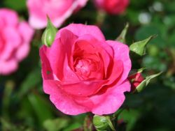 Beetrose 'Pink Traumland'  � - Rosa 'Pink Traumland'  �