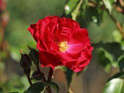 Beetrose 'Rotilia' � - Rosa 'Rotilia' �  ADR-Rose