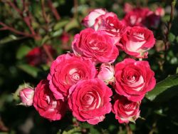 Beetrose 'Sch�ne Koblenzerin' � / 'Marie Rottrov�' - Rosa 'Sch�ne Koblenzerin' � / 'Marie Rottrov�' ADR-Rose