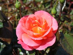 Beetrose 'Shanty' � - Rosa 'Shanty' �