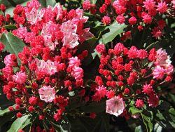 Berglorbeer / Lorbeerrose 'Olympic Fire' - Kalmia latifolia 'Olympic Fire'