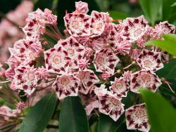 Berglorbeer / Lorbeerrose 'Olympic Wedding' - Kalmia latifolia 'Olympic Wedding'