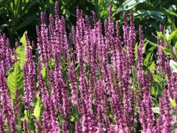 Bl�ten-Salbei 'Pink Delight' - Salvia nemorosa 'Pink Delight'