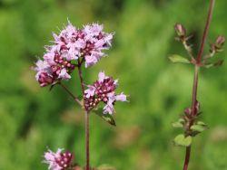 Blumen Dost 'Herrenhausen' - Origanum laevigatum 'Herrenhausen'