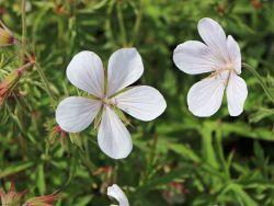 Clarkes Storchschnabel 'Kashmir White' - Geranium clarkei 'Kashmir White'