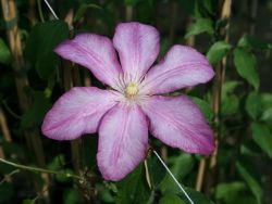 Clematis 'Betty Risdon' - Clematis 'Betty Risdon'