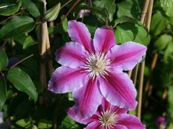 Clematis 'Dr. Ruppel' - Clematis 'Dr. Ruppel'