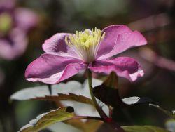 Clematis 'Freda' - Clematis montana 'Freda'