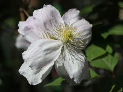 Clematis 'Giant Star' - Clematis montana 'Giant Star'