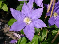 Clematis 'H. F. Young' - Clematis 'H. F. Young'