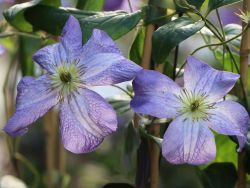 Clematis 'Jenny' - Clematis viticella 'Jenny'