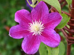Clematis 'Red Pearl' - Clematis 'Red Pearl'