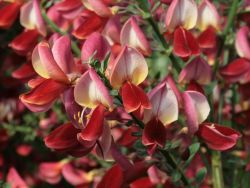 Edelginster 'Roter Favorit' - Cytisus scoparius 'Roter Favorit'