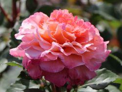 Edelrose 'Augusta Luise' � - Rosa 'Augusta Luise' �