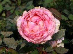 Edelrose 'Honore de Balzac' � - Rosa 'Honore de Balzac' �