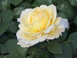 Edelrose 'La Perla' � - Rosa 'La Perla' � ADR-Rose