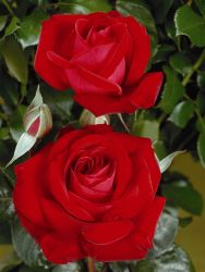 Edelrose 'Red Brokat' � - Rosa 'Red Brokat' �
