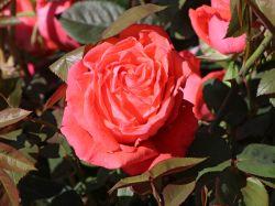 Edelrose 'Super Star' � - Rosa 'Super Star' �