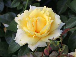 Edelrose 'Winter Sun' � - Rosa 'Winter Sun' �