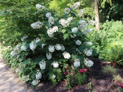 Eichenbl�ttrige Hortensie 'Alice' - Hydrangea quercifolia 'Alice'