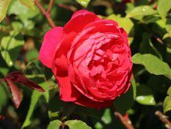 Englische Rose 'Benjamin Britten' � - Rosa 'Benjamin Britten' �