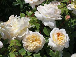 Englische Rose 'Emanuel' � - Rosa 'Emanuel' �