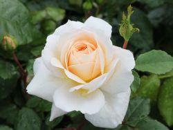 Englische Rose 'English Garden' � - Rosa 'English Garden' �