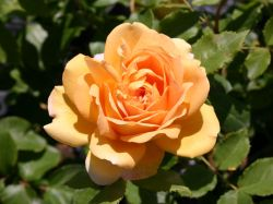 Englische Rose 'Golden Celebration' - Rosa 'Golden Celebration'