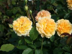 Englische Rose 'Molineux' � - Rosa 'Molineux' �