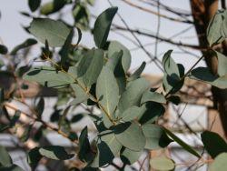 Eukalyptus - Eucalyptus gunnii