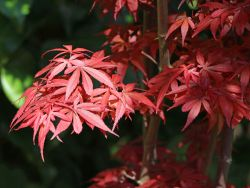 F�cher-Ahorn 'Shaina' - Acer palmatum 'Shaina'