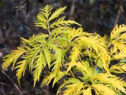 Farnbl�ttriger Goldholunder 'Sutherland Gold' - Sambucus racemosa 'Sutherland Gold'