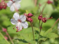 Felsen Storchschnabel 'Spessart' - Geranium macrorrhizum 'Spessart'