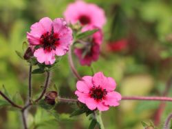 Fingerkraut 'Miss Willmott' - Potentilla nepalensis 'Miss Willmott'