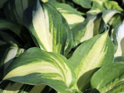 Funkie 'Lakeside Cupcake' - Hosta x cultorum 'Lakeside Cupcake'