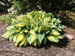 Funkie 'Orange Marmalade' - Hosta x cultorum 'Orange Marmalade'