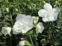 Garteneibisch 'White Chiffon' � - Hibiscus syriacus 'White Chiffon' �