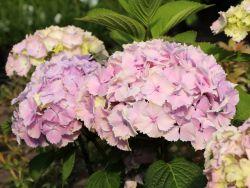 Ballhortensie 'Magical Harmony' - Hydrangea macrophylla 'Magical Harmony'
