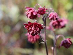 Gef�llte Akelei 'Ruby Port' - Aquilegia vulgaris 'Ruby Port'